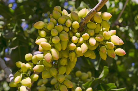 central california: Pistachio nuts growing on a tree in an orchard in central California growing region