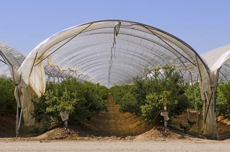 central california: young pistachio trees growing on a an orchard in central California growing region
