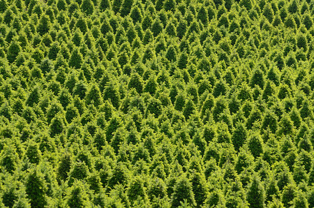 Large plantation of Christmas trees on an Oregon farm Stock Photo