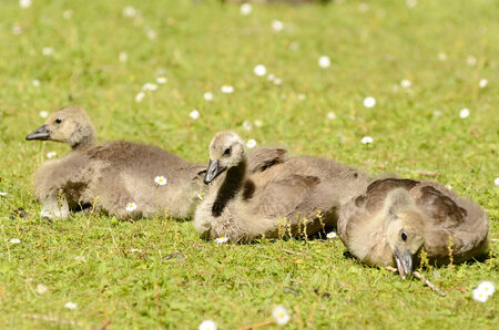 Baby canadian geese on a green lawn