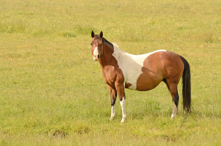 Very pregnant American Paint mare horse on a cattle ranch in the Umpqua Valley near Roseburg Oregon photo