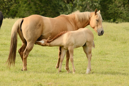 American paint mare and colt horse on a cattle ranch in the Umpqua Valley near Roseburg Oregon