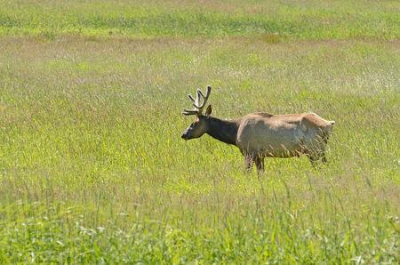 roosevelt: Roosevelt Elk Bull in late spring velvet in a large grassy meadow