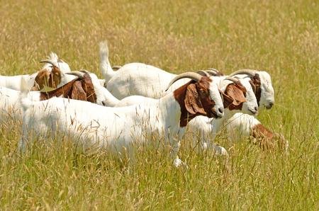 goat horns: Boar meat goats grazing in a early summer field Stock Photo