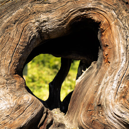 tree shape': Heart shape in a rootwad of  a giant redwood trees in the northern coastal area of California