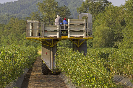 Macchina raccolta Blueberry lavorare una fila di piante nella Valle Umpqua di Oregon Archivio Fotografico - 34678126