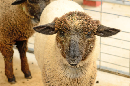 sheep eye: Cute young lambs at a farm in the Willamette Valley in Oregon Stock Photo
