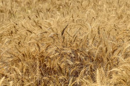 Large field of summer wheat in the WIllamette Valley in Oregon