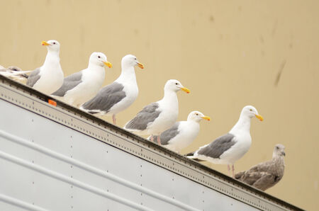 handouts: Califonia sea gulls looking for handouts at a fish processing plant in Astoria Oregon Stock Photo