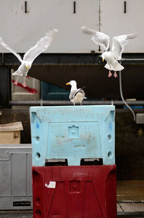 Califonia sea gulls looking for handouts at a fish processing plant in Astoria Oregon Stock Photo