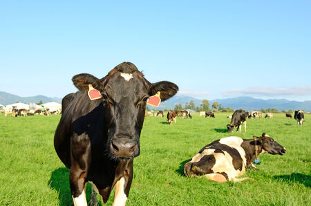 Holstein milk cows in a field in the dairy region of Tillamook Oregon