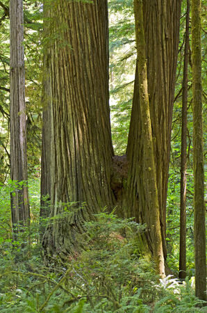 Sun comes in the rainforest of Redwoods in the Del Norte Coast Redwoods State Park in Northern California photo