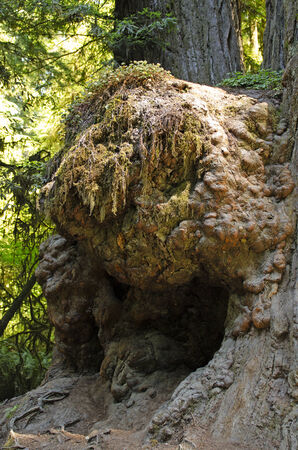 A large burl on the trunk of a giant redwood tree in the Del Norte Coast Redwoods State Park in Northern California photo