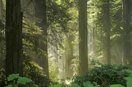 太陽は、レッドウッド カリフォルニア州北部で、デル ノルテ海岸レッドウッド州立公園の熱帯雨林
