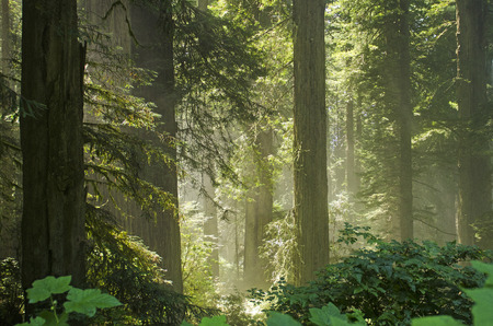 Sun comes in the rainforest of Redwoods in the Del Norte Coast Redwoods State Park in Northern California