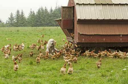 great pyrenees: A group of free range chickens is protected by a Pyrenees Mountain Dog at the coop. Stock Photo