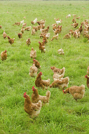 carne de pollo: Un grupo de pollos de granja comer en un campo en el norte de California
