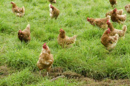 A group of free range chickens feed in a field in Northern California Stock Photo - 36455264