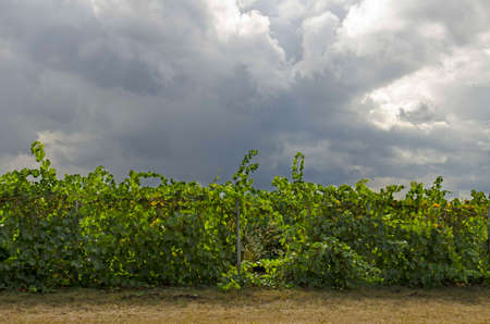willamette: Vineyard of wine grapes with a early fall storm developing in the Willamette valley in Oregon