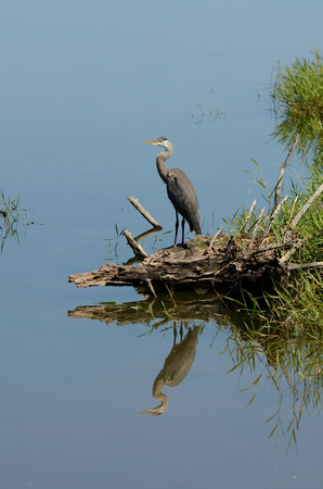 great blue heron: A great blue heron, Ardea herodias on a small lake waiting for fish,