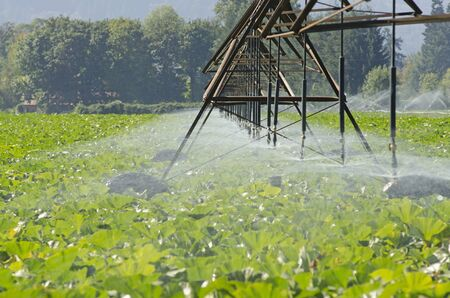 recieve: mature pumkin plants in Oregon recieve a  watering from overhead wheeled irrigation system