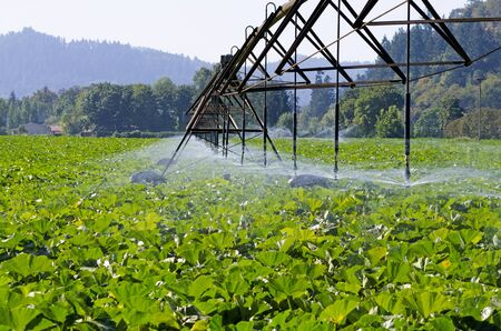 pumkin: mature pumkin plants in Oregon recieve a  watering from overhead wheeled irrigation system