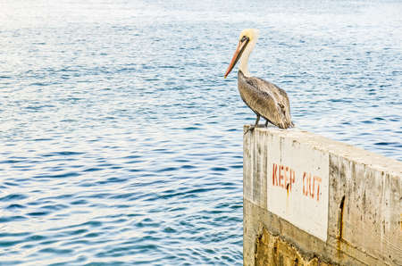 catalina: Brown Pelican. Pelecanus occidentalis,  harbor at the port of Avalon on Catalina Island, California Stock Photo