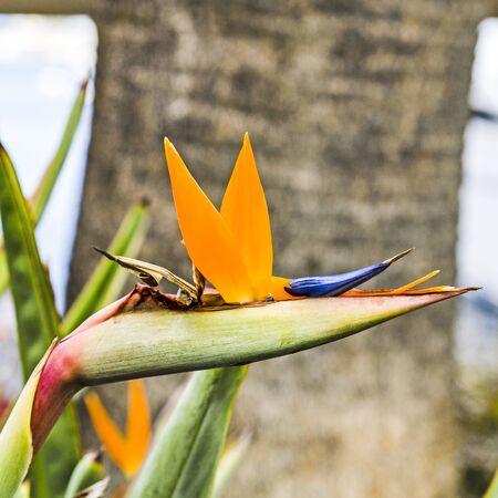 Bird of Paradise flower, Strelitzia, near the harbor at the port of Avalon on Catalina Island, California photo