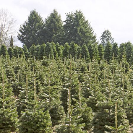 Fir trees waiting for Christmas, one of Oregons tree farms near Salem Oregon Stock Photo