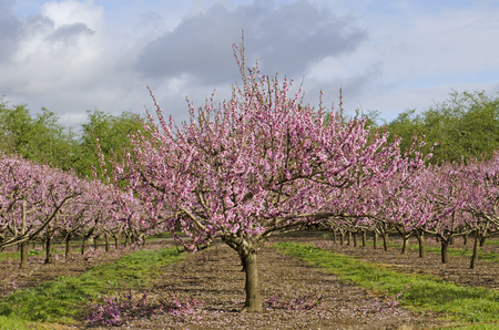 Peach tree in early spring blooming in Oregon