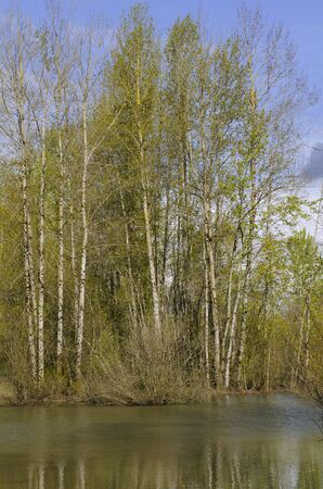 A stand of poplar trees line a small pond in early spring Stock Photo