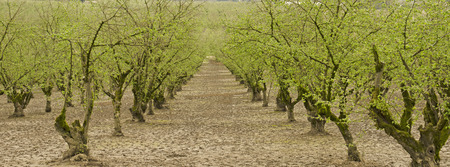 Hazelnut or filbert orchard trees in the Willamette Valley of northwest Oregon, early spring