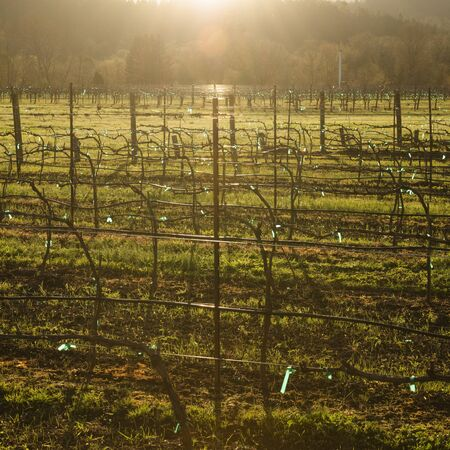 Grape vines backlit by the setting early spring sun in Oregon
