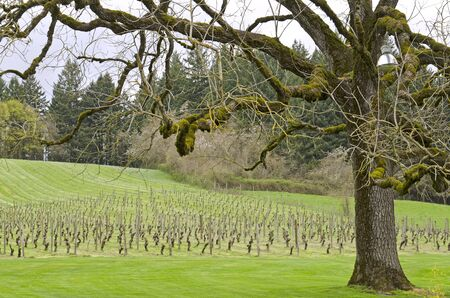 Rows of grape vines on a hill in Oregon during early spring Stock Photo