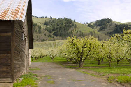 oregon  snow: A barn sits in the idealic apple Hood River Oregon orchard area