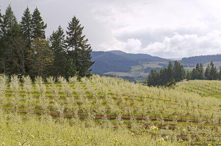 Obstgärten in Hood River Oregon im frühen Frühling Standard-Bild - 44982625