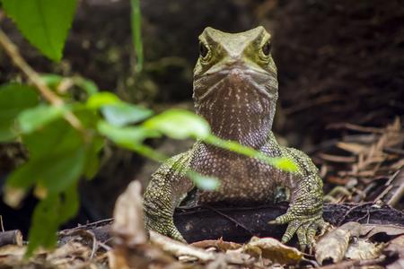 Tuatara reptile portait