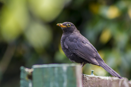 Eurasian blackbird portrait