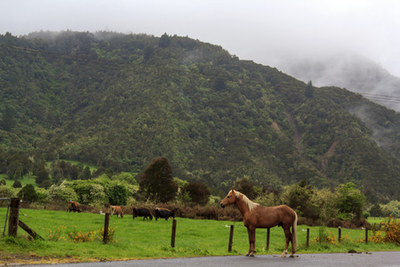 Horse and Dairy Cows in New Zealand green field