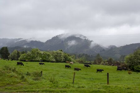 Dairy cows Grazing in green field with mountain the background Imagens