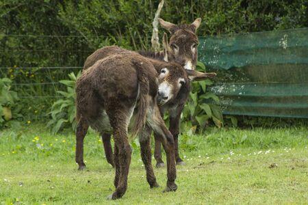 Donkeys on a green field