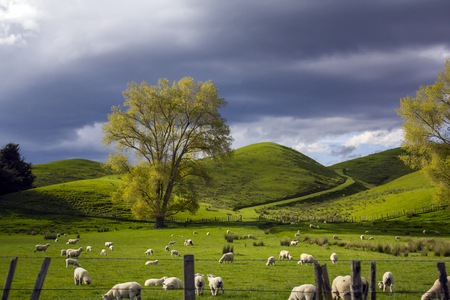 Green meadows with grazing sheep and dramatic cloudy sky