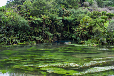 Enchanted landscape with pure clear water and a magical blue pool surronded by forest trees. Blue Spring, Te Waihou Walkway, New Zealand Banco de Imagens