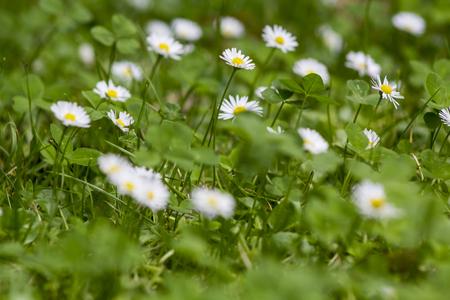 Oxeye daisy in the garden Stock Photo