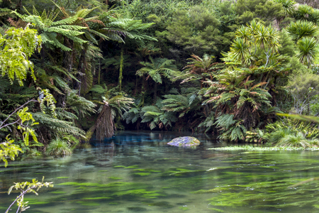 Blue Spring, stunning blue pool surrounded by lush green plants and other native palm species, Te Waihou Walkway, New Zealand