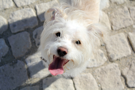 White dog on the street with tongue out. Top view