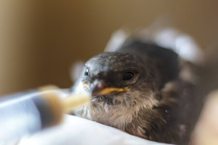 Hand holding a baby swallow and trying to feed it with a syringe