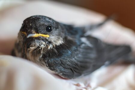 Close-up of an rescued baby swallow