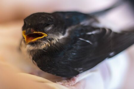 Baby swallow with open mouth begging for food Reklamní fotografie