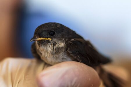 Cute baby swallow in human hand
